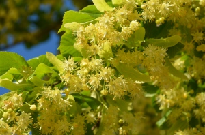 yellow linden blossoms