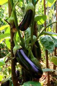 Eggplants on plant