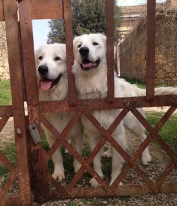 two white dogs at the gate