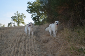 two white dogs in wheatfield